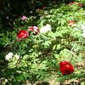 写真: 花明山植物園の牡丹