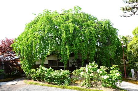 枝垂れ桜と牡丹の本満寺
