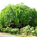 写真: 枝垂れ桜と牡丹の本満寺