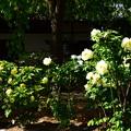 写真: 牡丹咲く本満寺