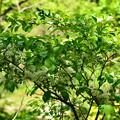 写真: 沢蓋木(サワフタギ)