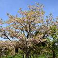 写真: ガーデンミュージアム比叡の桜