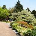 写真: 新緑の中の桜~