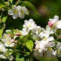 写真: 林檎(リンゴ)