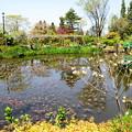 写真: 初夏のモネの池
