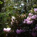 写真: 石楠花と桜