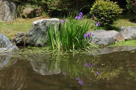 杜若咲く琵琶湖