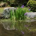 写真: 杜若咲く琵琶湖