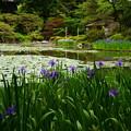 写真: 蒼龍池の杜若(カキツバタ)