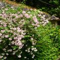 写真: 空木と黄菖蒲の参道