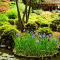 写真: 杜若咲く白虎池