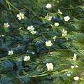 梅花藻(バイカモ)