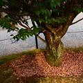 尾山神社の菊桜