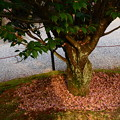 写真: 尾山神社の菊桜