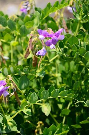 浜豌豆(ハマエンドウ)
