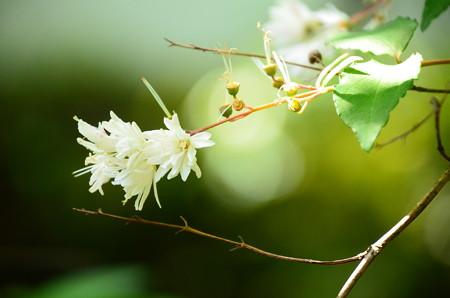 更紗空木(サラサウツギ)