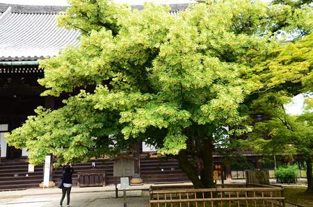 満開の菩提樹(ボダイジュ)