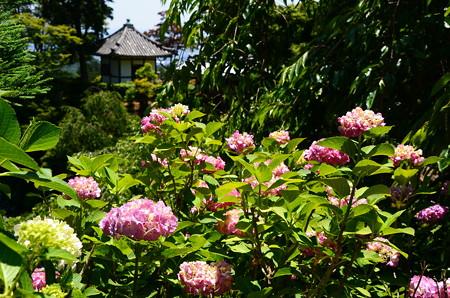 紫陽花と開山堂