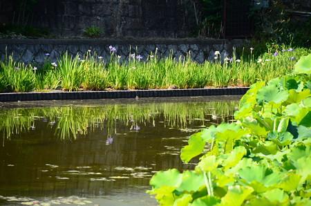 蓮池奥の花菖蒲