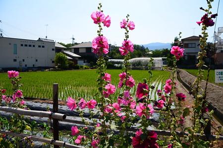 立葵の咲く風景