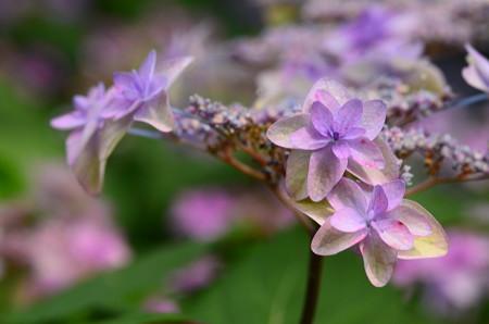 美山八重紫(ミヤマヤエムラサキ)