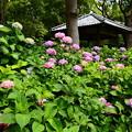 藤森神社紫陽花園