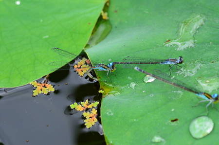 青糸蜻蛉の産卵