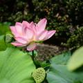 写真: 東本願寺・蓮池の蓮