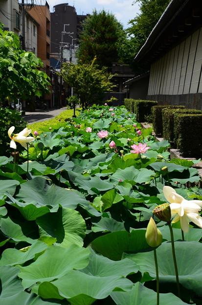 写真: 東本願寺の蓮