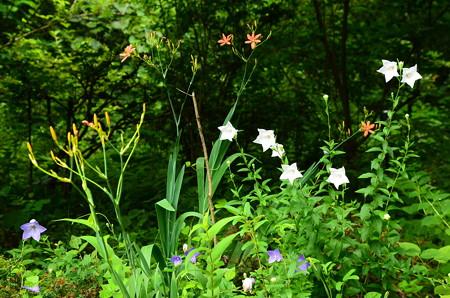 桔梗と桧扇咲く生態園
