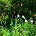 写真: 桔梗と桧扇咲く生態園