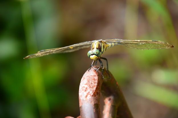 写真: 麦藁蜻蛉(ムギワラトンボ)