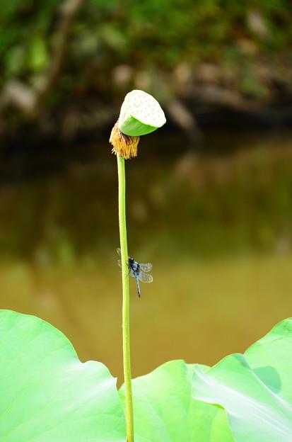 写真: 大塩辛蜻蛉(オオシオカラトンボ)