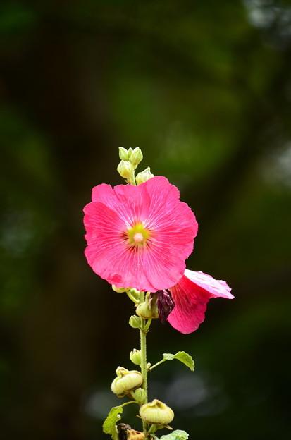 写真: 天辺まで咲いた立葵