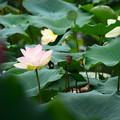 写真: 相国寺蓮池