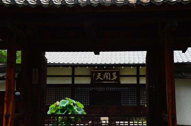 写真: 蓮咲く養源院