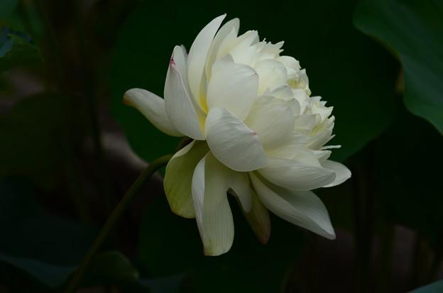写真: 水晶白(スイショウシロ)