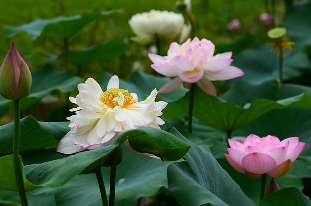 写真: 重水花(ジュウスイカ)