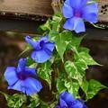 写真: 青水晶斑入孔雀葉平軸青爪覆輪浅切咲(あおすいしょうふいりくじゃくばひらじくあおつめふくりんあさきれざき)