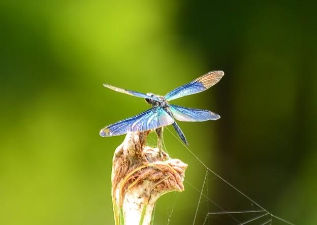 写真: 煌めく翅