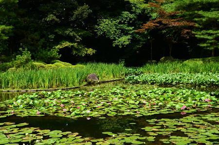 睡蓮咲く白虎池