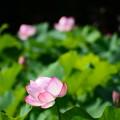 写真: 蓮