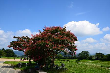 賀茂川の百日紅(サルスベリ)