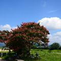 写真: 賀茂川の百日紅(サルスベリ)