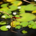 写真: 鏡蓋の池の猩々蜻蛉(ショウジョウトンボ)