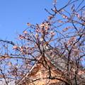 冬の御会式桜(オエシキザクラ)