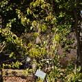写真: 植え替えられたヒマラヤ桜