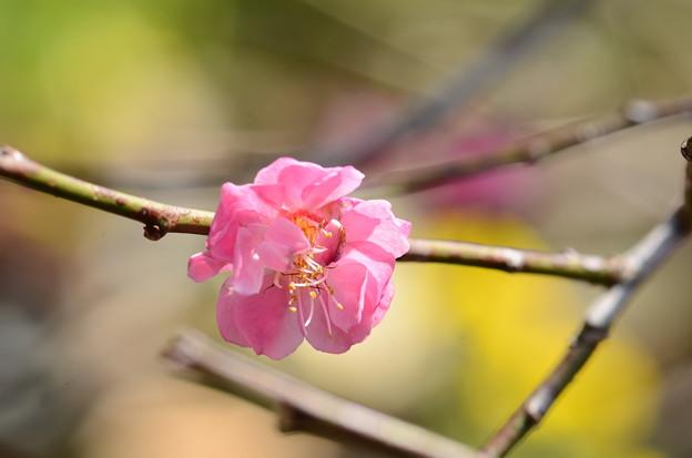 早春の草花展の梅