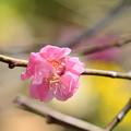 写真: 早春の草花展の梅