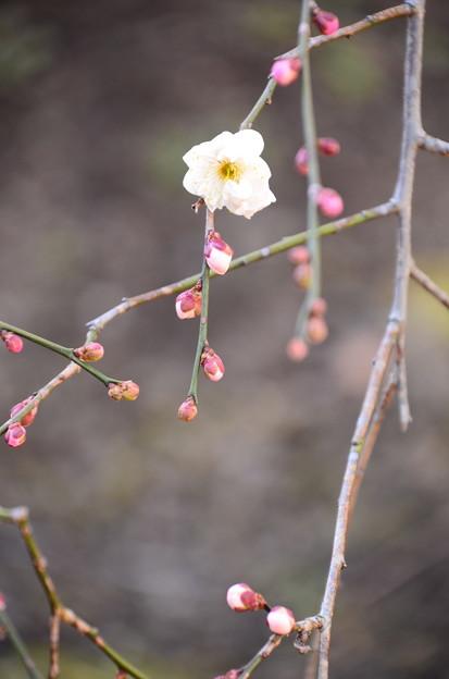 咲き始めた枝垂れ梅